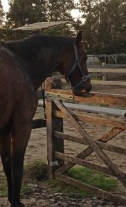 Paard dat luchtzuigt