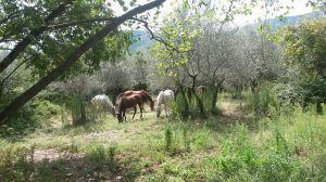 paarden Italië bomen