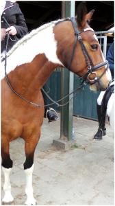 bont paard pony