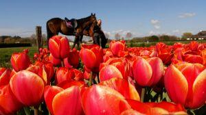 tulpenveld rood paarden
